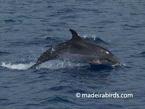 Cetaceans Madeira
