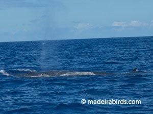 Cetaceans in Madeira