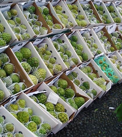 Madeira Regional Custard Apple Exhibition in Santana 1