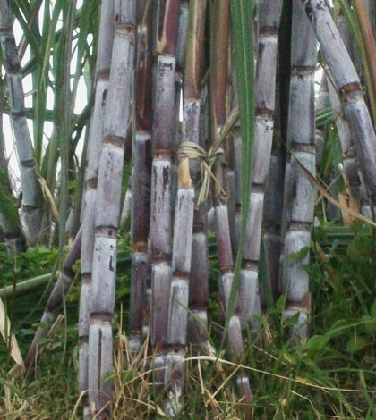 Madeira Sugar Cane Show or Cana de Açucar show 1