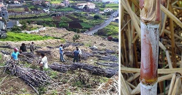 Madeira Sugar Cane